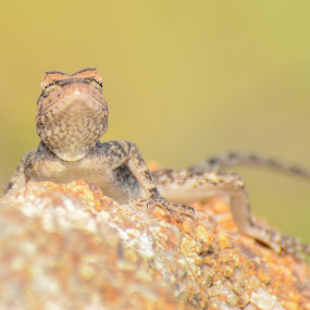 Posing !! by Prathap Gangireddy - Animals Reptiles ( reptiles, lizard, color, reptile, lizards )
