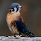 *************WASHINGTON BIRD BLUE.jpg