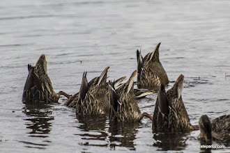 Photo: Bottoms up looking for food at Niquette Bay State Park by Kristen Jensen