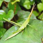Oriental Long-Headed Locust