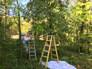Photo: Peter establishes longer ladder to climb up and cut the branch.