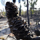New England Banksia (burnt seed pods)
