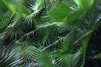 Photo: Year 2 Day 135 - Another Palm in Singapore Botanical Gardens