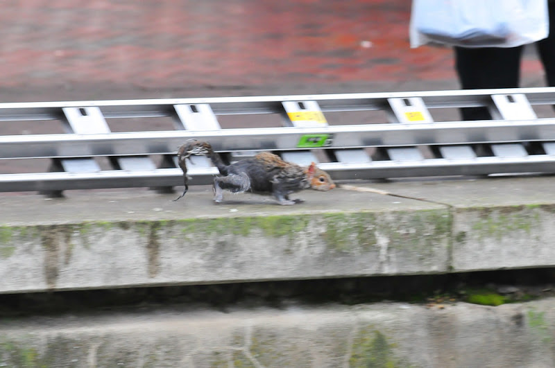 Photo: PIC SUPPLIED BY GEOFF ROBINSON PHOTOGRAPHY 07976 880732.PIC SHOWS THE   SQUIRREL IN WATFORD,HERTS,ON JAN 6TH,MAKING A BREAK FOR FREEDOM . An incredible THREE fire engines were called to rescue a tiny grey squirrel after it became stranded on reeds in the middle of a town pond.At least SEVEN firefighters with TWO ladders helped to rescue the rodent from the pond, after a local resident called to say it had fallen in.The squirrel could not climb back up the steep concrete walls and had taken refuge on a small island of rocks in the high street pond in Watford, Herts yesterday (Sun) at around 12.15pm. SEE COPY CATCHLINE  THREE fire engines rescue SQUIRREL
