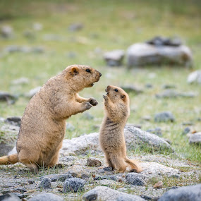 Son...Be careful! by Santanu Majumder - Animals Other Mammals ( marmot;  ladakh; india; wildlife; mammals )