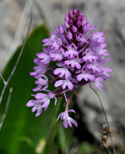 Photo: Anacamptis pyramidalis, Orchidaceae