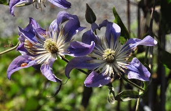 Photo: Clematis 'Blue River' 2
