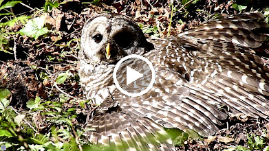 Video: Barred Owl stretched out enjoying the morning sun but is now panting from the heat.