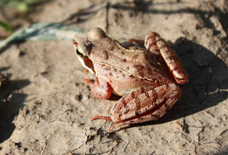 Photo: Rana temporaria    grenouille rousse