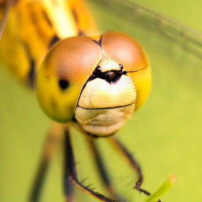 Dragonfly by Soyam Chhatrapati - Animals Insects & Spiders ( macro, macrophotography, micro, macro photography, dragonfly )