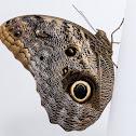 borboleta coruja