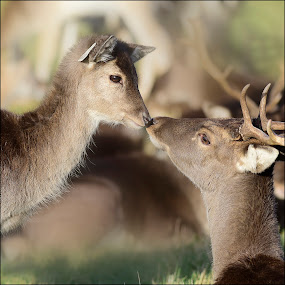 Kissing Deers by Ita Martin - Animals Other Mammals ( kissing deers,  )