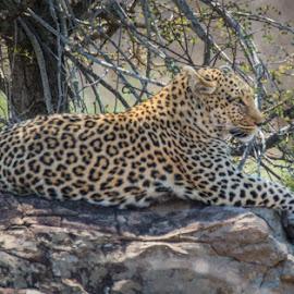 by Lanie Badenhorst - Animals Lions, Tigers & Big Cats ( #leopard, #krugernationalpark, #southafrica, #wildlife )