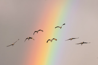 Photo: Sandhill cranes - over the rainbow.