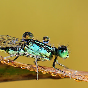 raindrop by Adem Yağız - Animals Insects & Spiders ( nature, damselfly, doğa, bug, insect, close up )