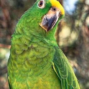 Amazon Parrot by Bob White - Animals Birds ( wild, tree, parrot, wildlife, amazon,  )