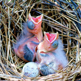 Baby Birds by Paul S. DeGarmo - Animals Birds ( nest, feed, baby, birds, close,  )