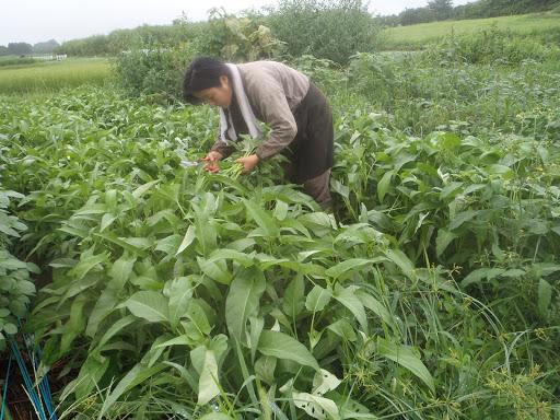 空心菜を収穫