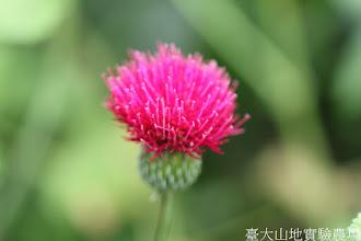 Photo: 拍攝地點: 梅峰-溫帶花卉區 拍攝植物: 花薊 拍攝日期: 2015_11_13_FY