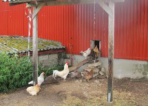 Photo: Masser af høner. William kunne mægtig godt li´ dværghønen. Det er den lille lysebrunelængst tilbage,til venstre. Den havde 'hår' på benene