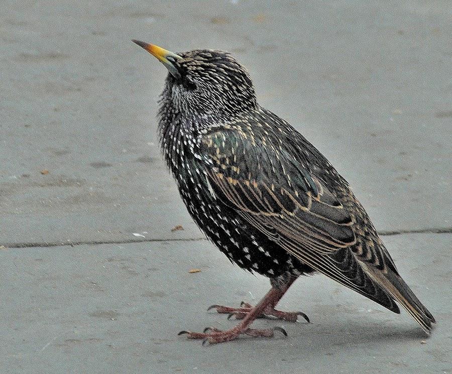 European starling. by Govindarajan Raghavan - Animals Birds (  )