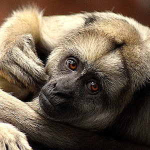 Howler Monkey Down final crop3.jpg