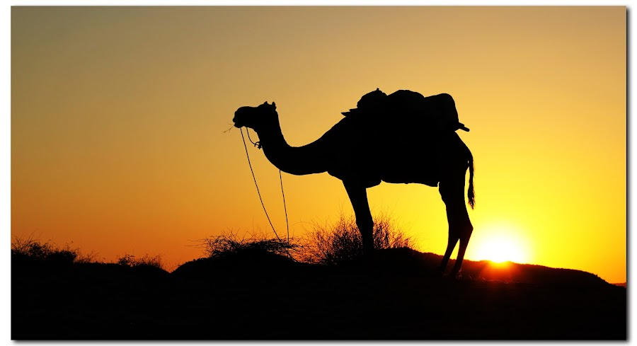 pushkar desert by Jon Harris - Animals Other Mammals
