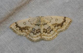 Photo: Cyclophora annularia   Lepidoptera > Geometridae