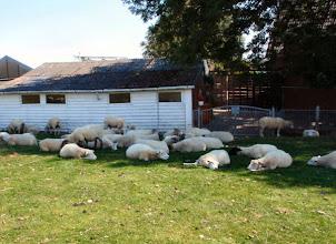 Photo: ...noch mehr Schafe