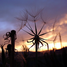 Beauty in the Weeds by Ann Marie - Nature Up Close Other plants ( sunset, weed, , silhouette )