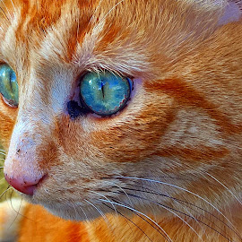 Mr Henry by Dobrin Anca - Animals - Cats Portraits ( love, cat, brittany, garden, friend )
