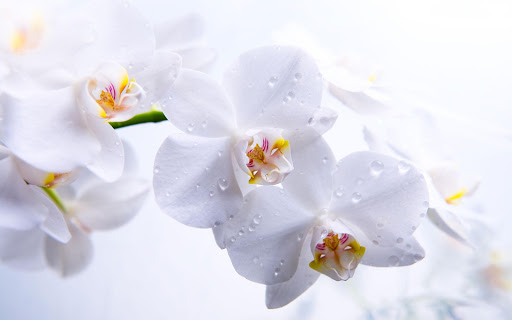 Orchid Pack 2 Live Wallpaper