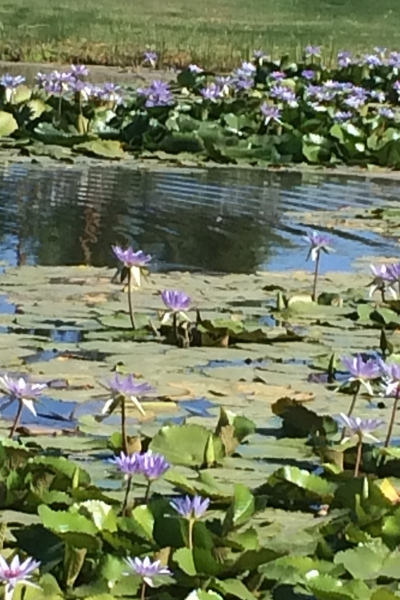rsz_pond_lilies_3.jpg
