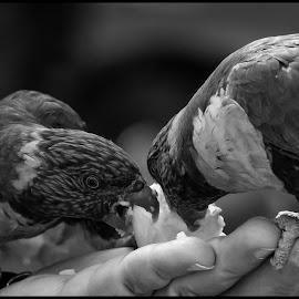 Lorie Birds by Dave Lipchen - Black & White Animals ( lorie birds )