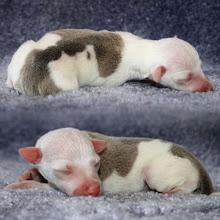 "Photo: ""Spruzzo"", AVAILABLE FOR SALE!, BlueFawn Italian Greyhound Puppy"
