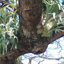 Unidentified epiphyte