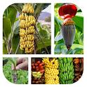 Organic Banana Cultivation icon