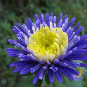 Синьо by Georgi Kolev - Flowers Single Flower ( син., зелен., светлина., цвете., цветове., листа. )