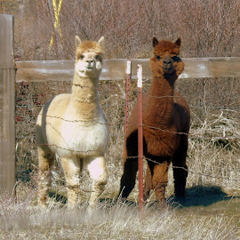 Alpacas by Cynthia Dodd - Novices Only Wildlife ( nature, furry, wildlife, alpaca, soft, animal )