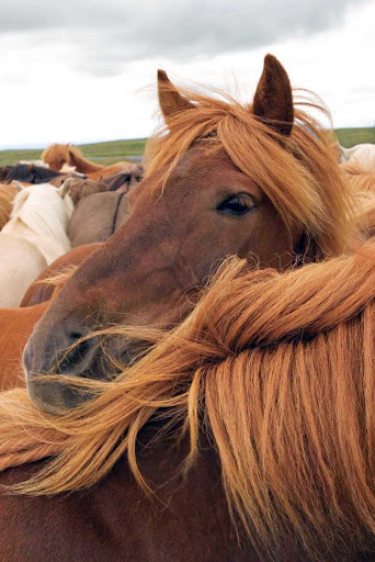 Lindblad-Expeditions-Iceland-Icelandic-Horses.jpg - See Icelandic horses close up during your visit to Iceland.