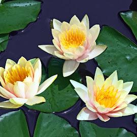 Triple Treat by Reuss Griffiths - Flowers Flowers in the Wild ( flowers, green, longwood gardens, water lilies, pale pink, yellow )