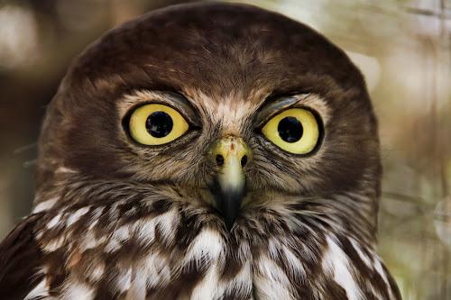 What big eyes you have - Barking Owl by Clarissa Human - Animals Birds ( bird, predator, birds of prey, patterns, owl, yellow, feathers, barking owl, eyes,  )