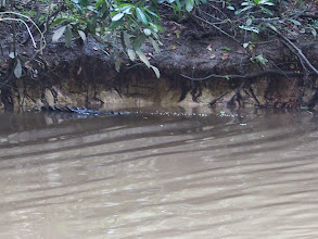 Photo: this is a tail of 4 meter long croc