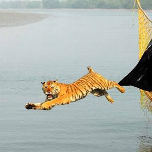 Tiger Release-02.jpg