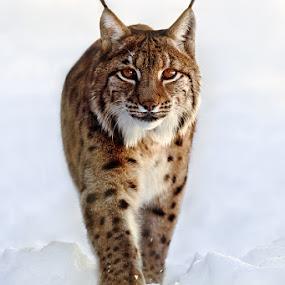 Lynx Lynx by Evžen Takač - Animals Lions, Tigers & Big Cats ( bavarian forest, predator, cat, lynx lynx, snow )