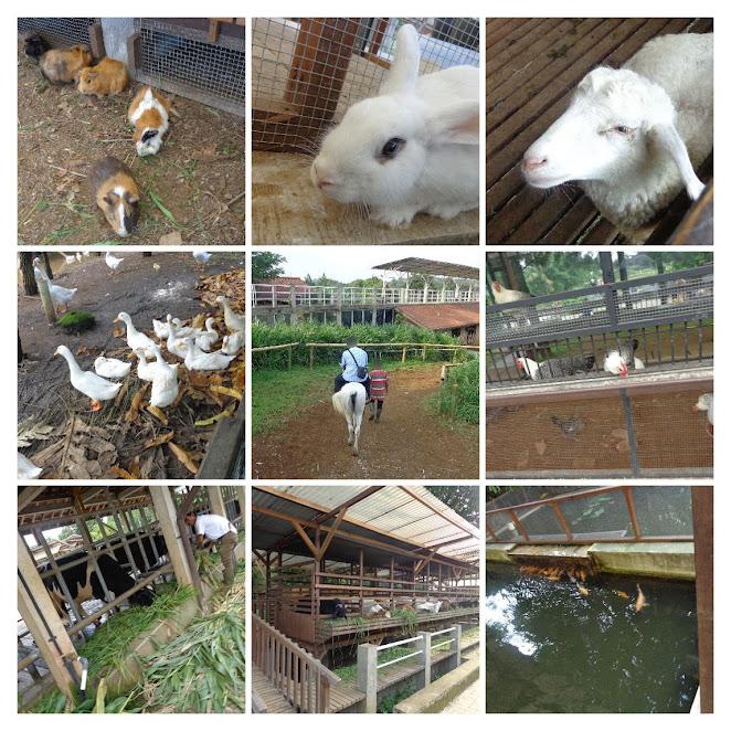 wisata ternak di kuntum farm field bogor