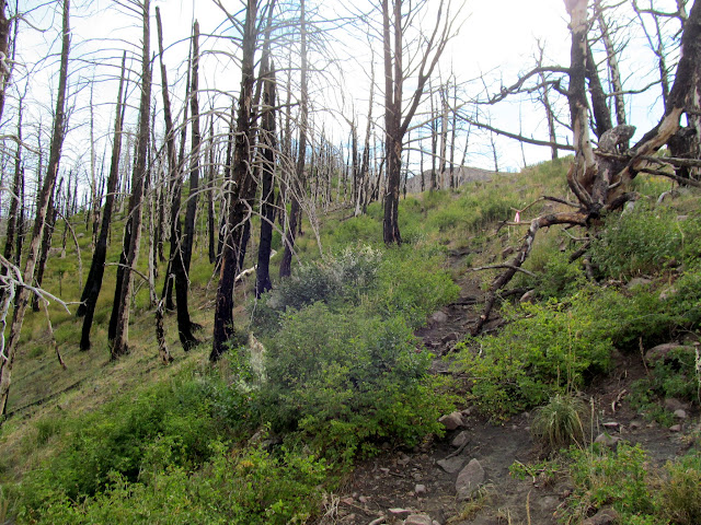 Trail through burned pines