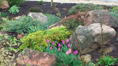 Photo: Тюльпаны и микробиота