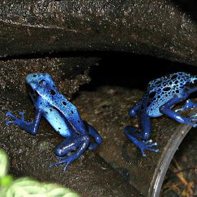 Plave žabe by Branko Levačić - Animals Amphibians