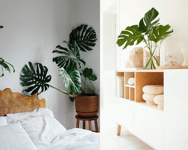 Trầu Bà Nam Mỹ phổ biến trong trang trí nội thất